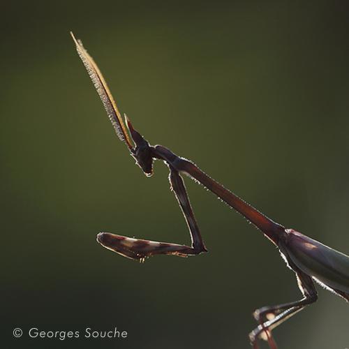 Empuse mâle (Empusa pennata)