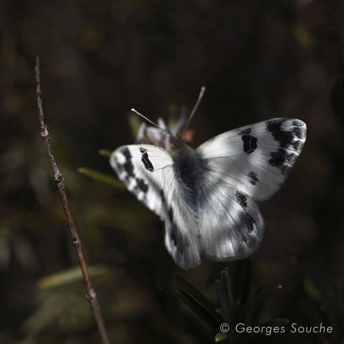 Pontia daplidice (le Marbré de vert)