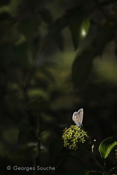 Polyommatus icarus 2011