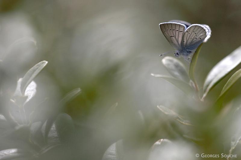 Cupido minimus