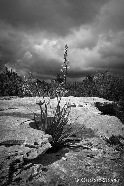 Asphodèle, massif de la Séranne, avril 2012