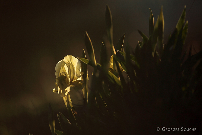 Iris des garrigues - Iris lutescens - mars 2013