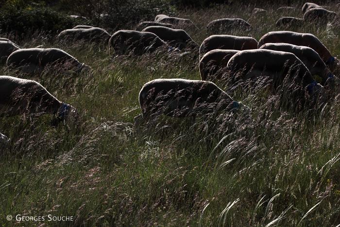 Transhumance, juin 2013. Dans les herbes du causse