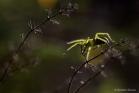 Araignée Micrommata ligurinum