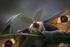 Petit paon de nuit (Saturnia pavonia)