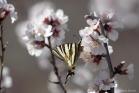 Flambé (Iphiclides podalirius) sur des fleurs d'amandier