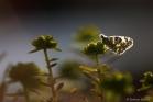 Marbré-de-vert (Pontia daplidice)