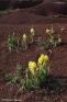 Iris des garrigues