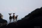 Famille de mouflons