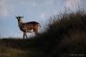 Jeune mouflon, massif du Caroux, Parc Naturel du Haut-Languedoc