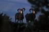 Mouflons, massif du Caroux, Parc Naturel du Haut-Languedoc
