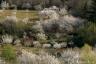 Cerisiers, vallée du Jaur, Parc Naturel du Haut-Languedoc
