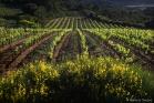 Vigne et genêts près de Cruzy
