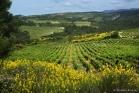 Vignoble au printemps près de Minerve