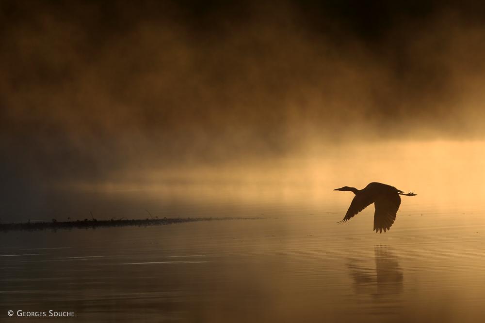 Grande aigrette. Lac du Salagou 2015