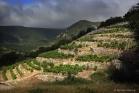 Vignes en terrasses à Lauroux