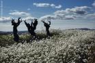 Saint-Saturnin, vigne fleurie de fausse roquette
